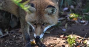 Szczepienia lisów wolno żyjących przeciwko wściekliźnie