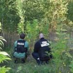 Policjanci wspólnie ze strażnikami granicznymi zlikwidowali plantację konopi indyjskich