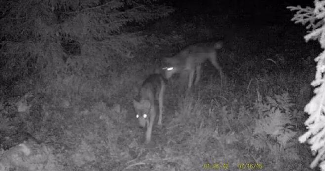wilki-spychowo