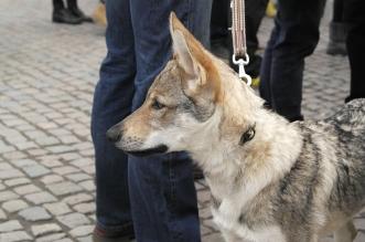 godzina-dla-wilka-olsztyn (33)