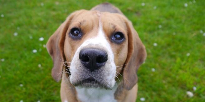 pies-beagle