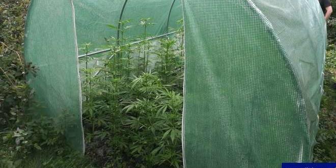 konopie-plantacja-98735