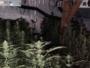 W domu miał prawie 4 kilogramy marihuany, a na strychu uprawę konopi. Trafił do aresztu [VIDEO]